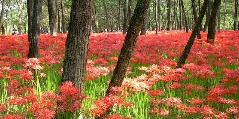 Tempat Melihat Bunga Lili Laba-laba Merah di Jepang